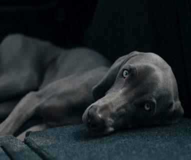 CBD für ängstliche Hunde